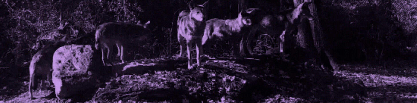 A pixilated purple-tinted scene of five wolves standing on a low hill in a wooded area