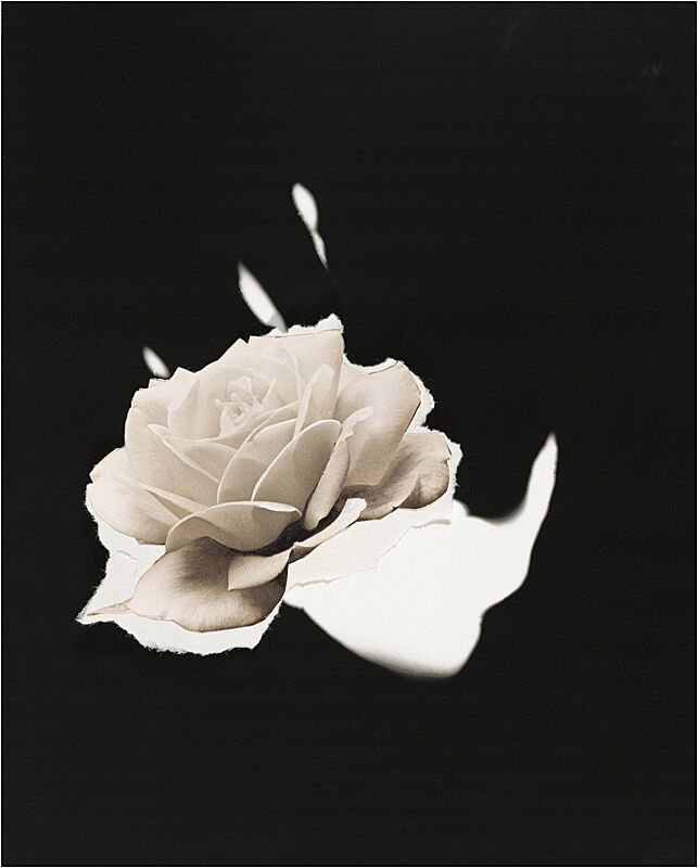 A collage of a white rose against a black background by Jay DeFeo.