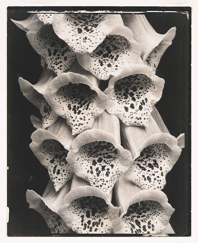 A black and white photograph of foxglove flowers by Edward Steichen