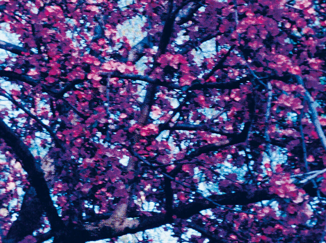 A still from a video of a tree of pink flowers.