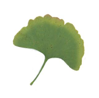 Green ginkgo leaf.