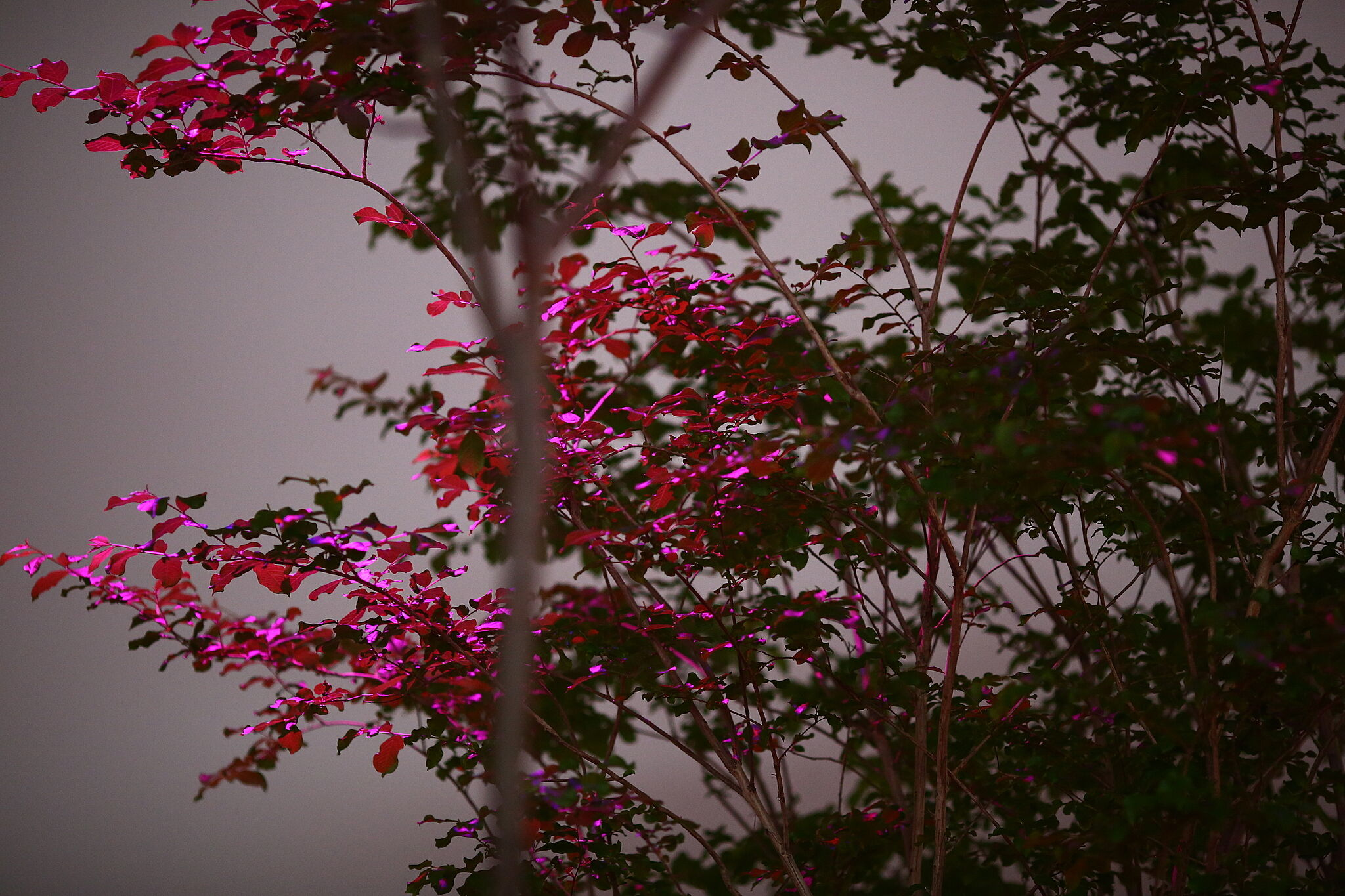 Tree leaves in bright pink light.