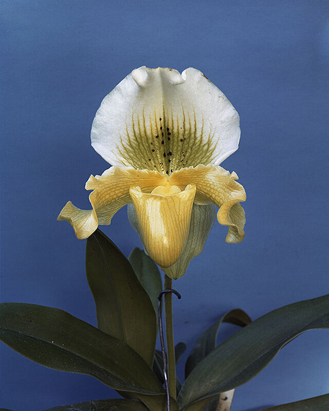 Photograph of white orchid with blue backdrop.