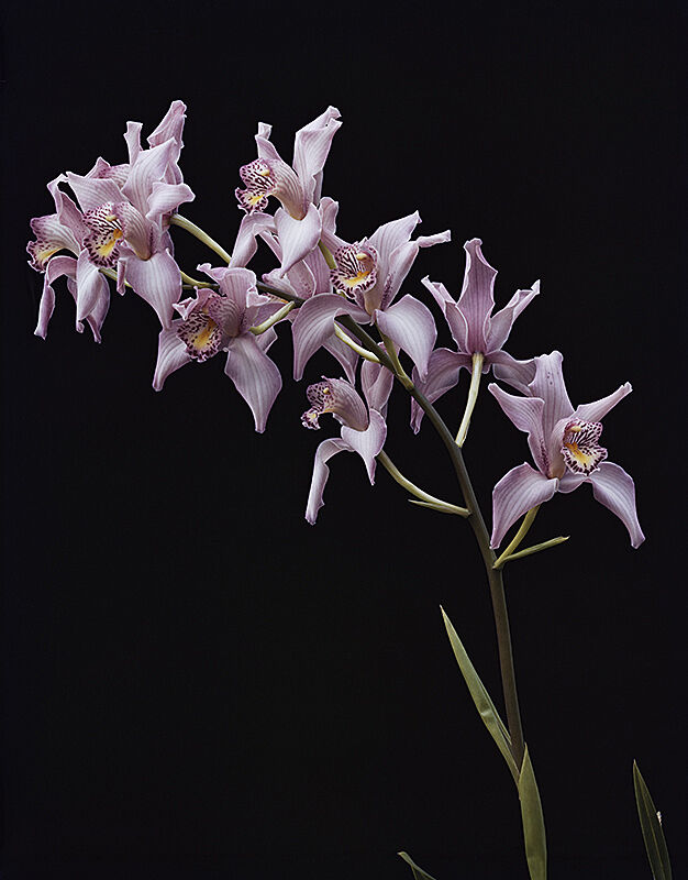 Photograph of multiple purple orchids on one stem.