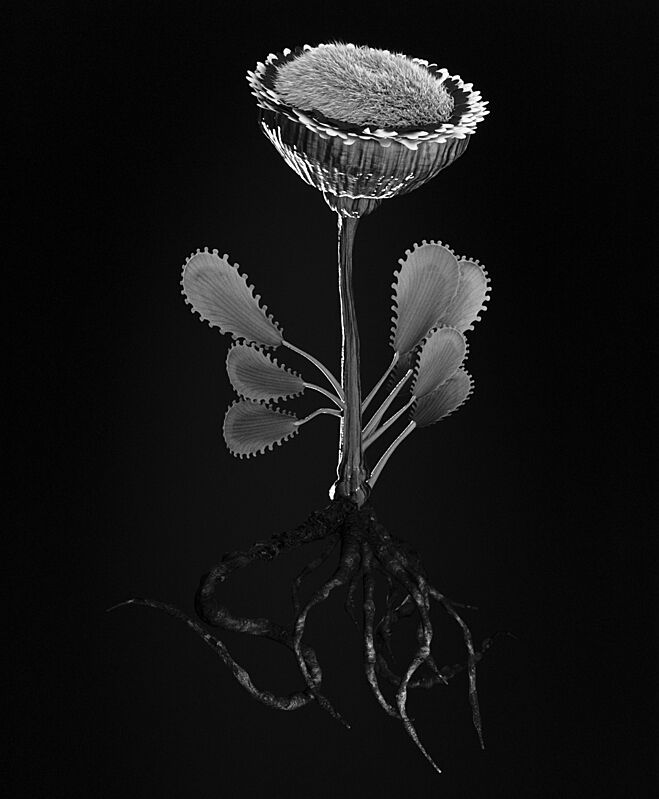 A black and white print of a flower and its roots.