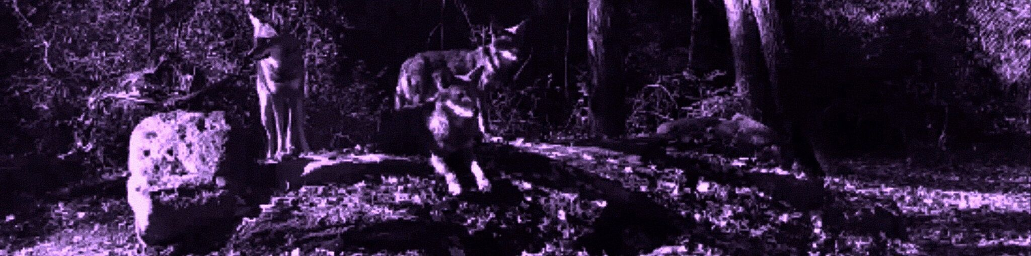 Purple-tinted video still featuring wolves