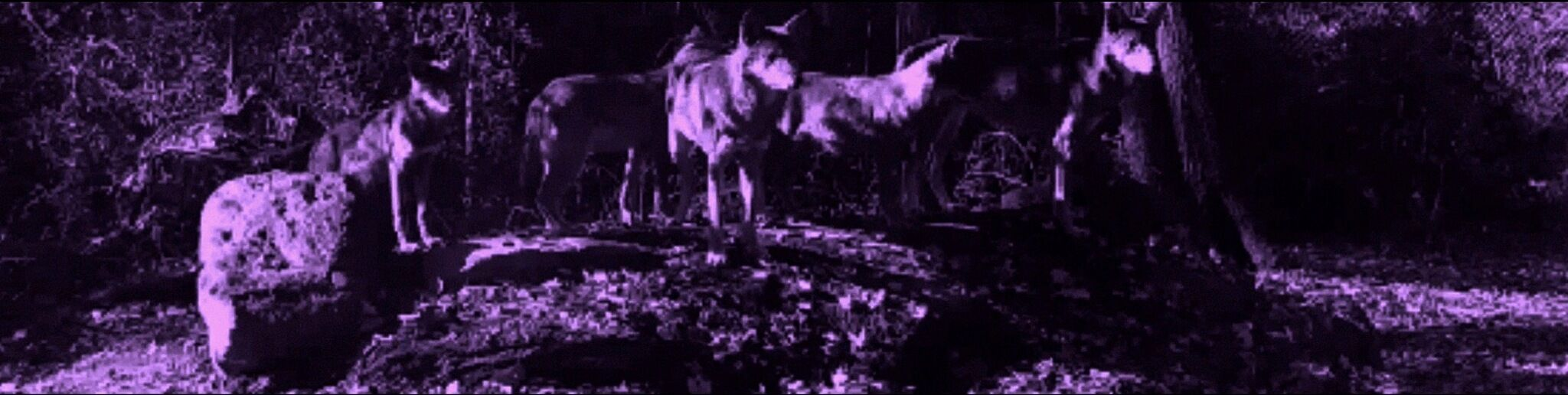 A purple image of a wolf pack
