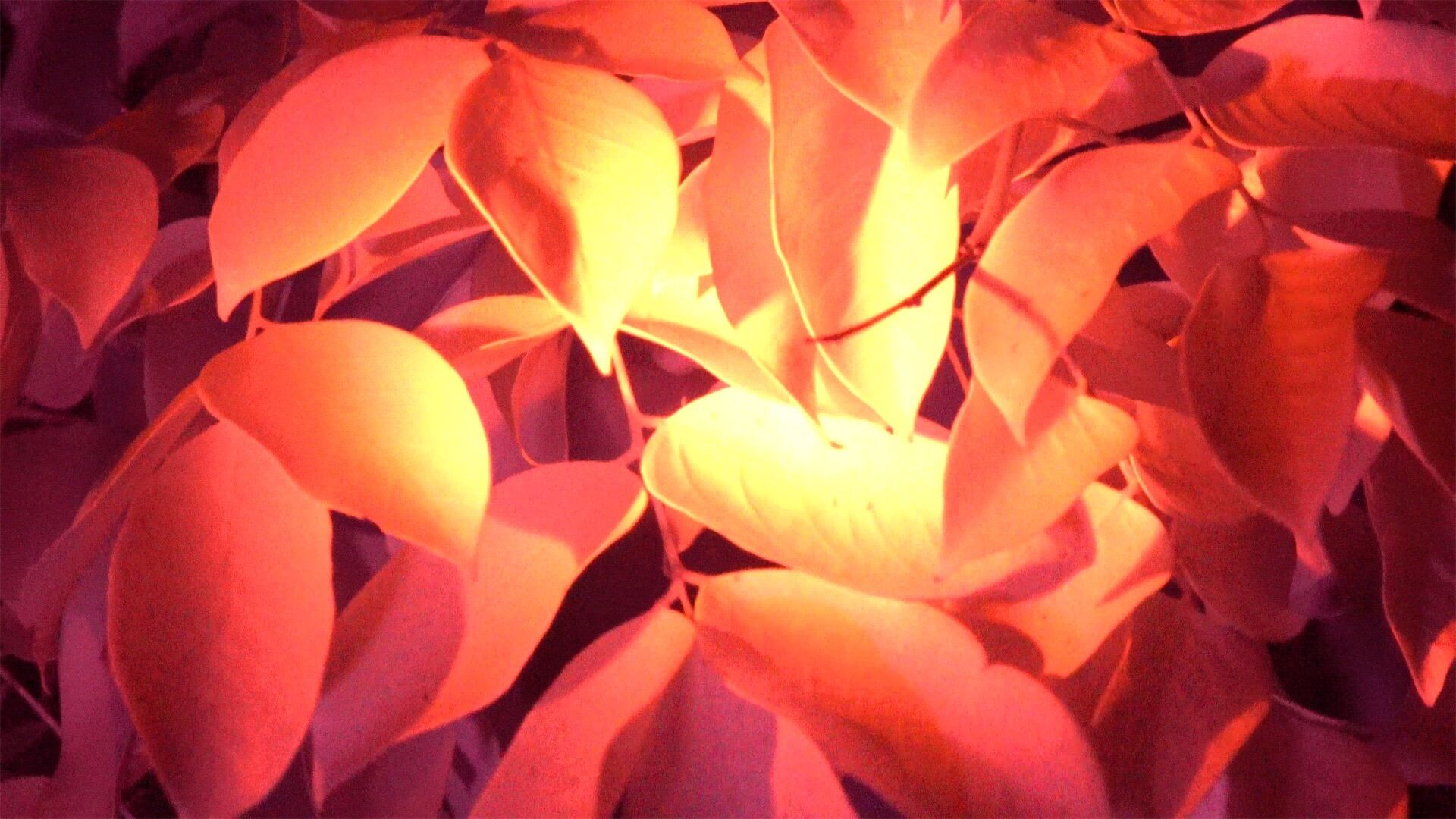 A close-up of orange leaves, brightly lit in the center, glowing yellow.
