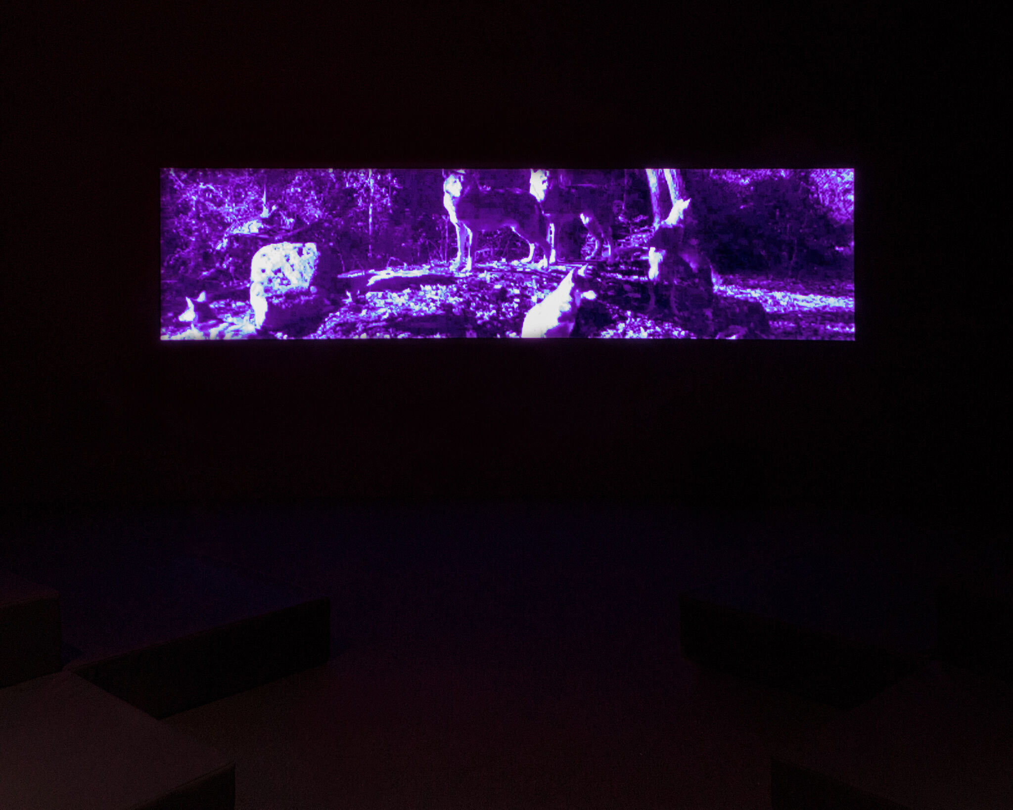A wide rectangular screen displaying a purple hued view of wolves out in the wild.